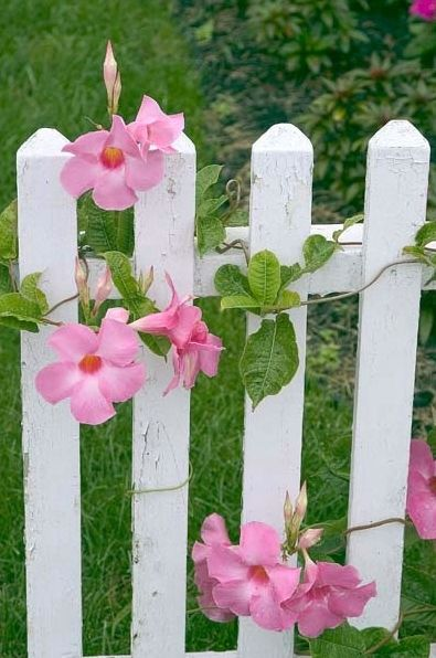 Mandevilla, such a beautfiul vibrant pink flower that loves the heat and sun.  Rapid growth makes it an excellent choice for climbing fences or trellises.