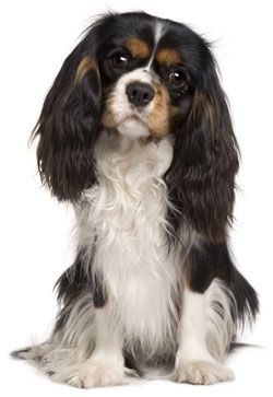 Cavalier King Charles Spaniel... I want one!