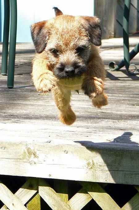 Border Terrier puppy jumping and having fun so absolutely adorable!!Border Terrier's make wonderful companions they are great dogs✨