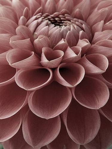 Dahlias are definitely my favorite. Are there ones that the petals curl in more than others? This one is perfect. Color and all.