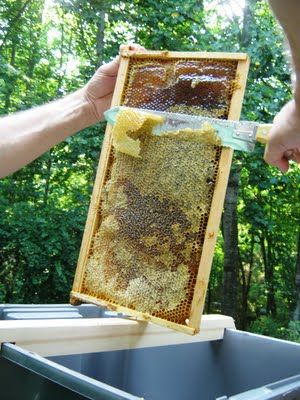 Honey Harvest...Uncapping a Deep Frame. uring winter, honey bees feed on the honey they collected during the warmer months. They form a tight cluster in their hive to keep the queen and themselves warm. #bees