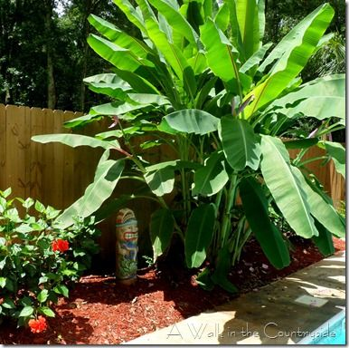 banana plants around pool - Google Search