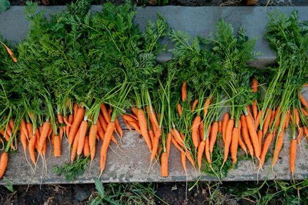 Φυτεύουμε καρότα στο μπαλκόνι μας! Όλα όσα πρέπει να ξέρετε για να έχετε τα δικά σας καρότα.