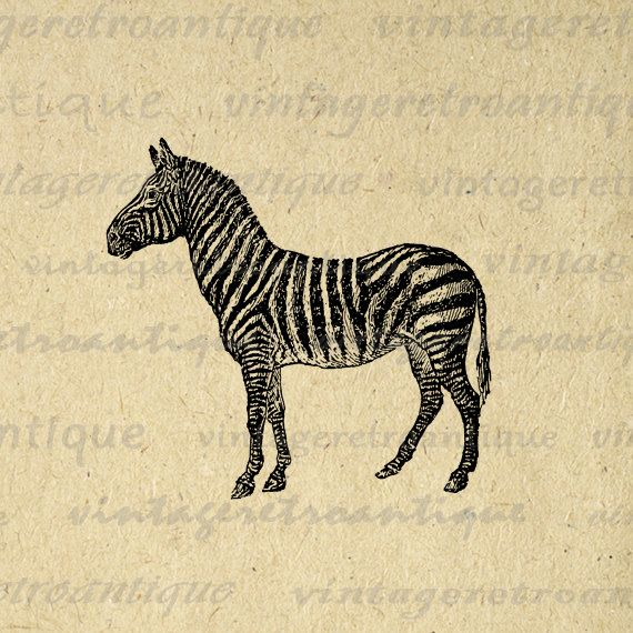 Printable Digital Zebra Graphic Illustration Image Download Antique Clip Art for Transfers Printing etc HQ 300dpi No.3087