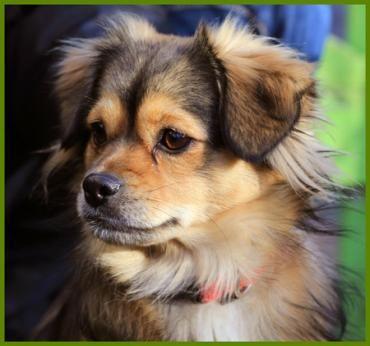 Hund, Pekinesen-Mix (Mischling, Hündin, 2 Jahre) in Lauf/Bayern - Julina