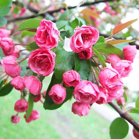 The Best Fragrant Flowers for Your Garden:  Flowering Spring blooms of the Brandywine Crabapple  Crabapples are small to mid-size trees that range in habit from low mounds to upright, column-shape, or weeping specimens. In spring, they are covered with fragrant white, pink, or red flowers, and in fall with small yellow, orange, or red apples that attract birds.....these made the best jelly