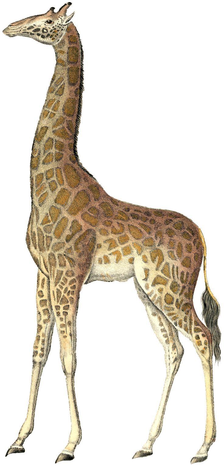 vintage giraffe wallpaper - Google Search