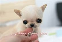chiwawa puppies pictures - Bing Images