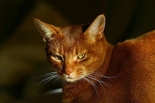 Google Image Result for http://curiousanimals.net/wp-content/uploads/2008/01/abyssinian-cat.jpg