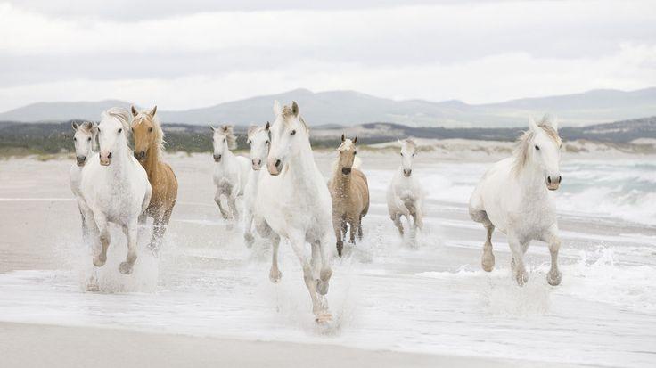 Geboren gratis, wit en bruin paard galopperen op een strand... wallpaper - ForWallpaper.com