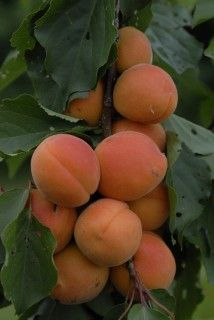 Apricot Little Bobby  Sweet fruits that are perfect for kids