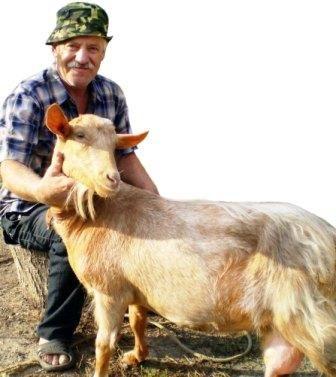 Разведение коз на личном подворье