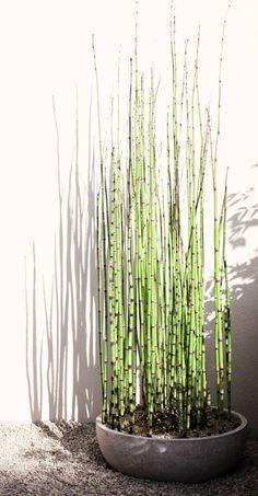 Equisetum japonicum ou prêle japonaise (tokusa), plante de bassin par excellence. Peut être placée en bacs au soleil ou à mi-ombre dans une terre humide. Résiste jusqu'à -15°C. Port érigé et graphique.