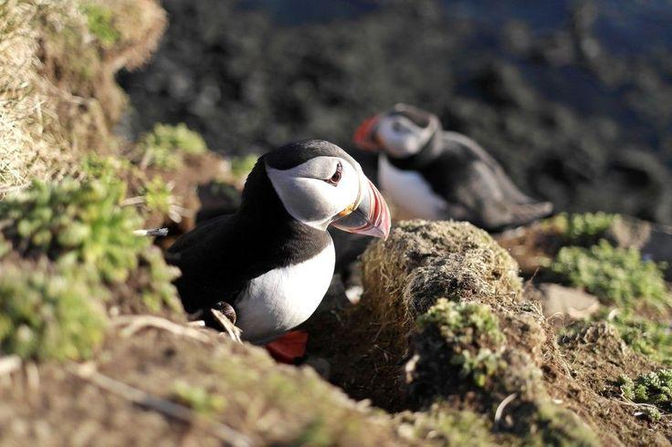 #Maskonur #Islandia #Iceland #latrabjarg #puffin