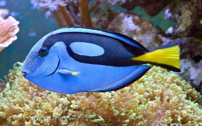 15. Синий царственный тан или рыба-хирург