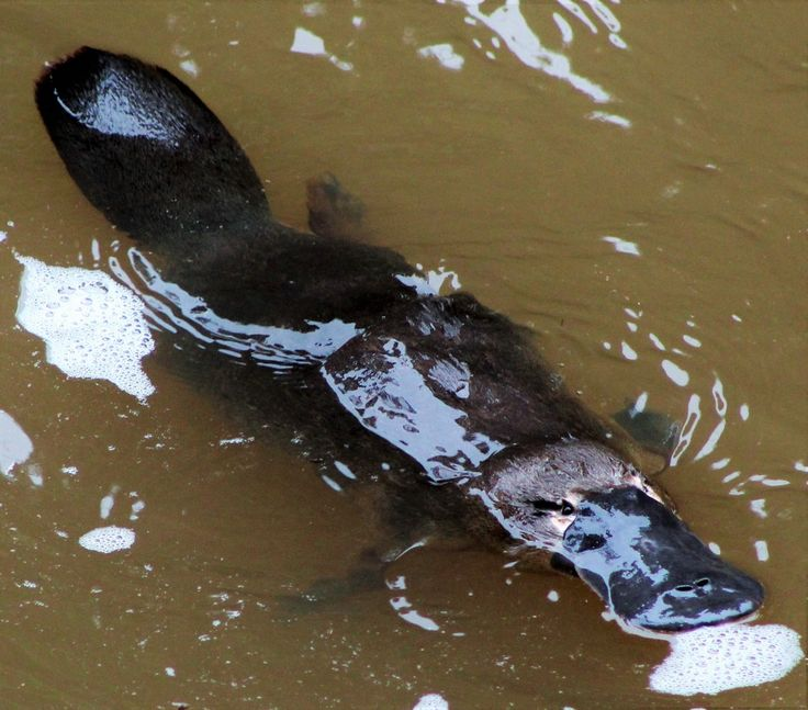 See Platypus in the wild at Eungella National Park! #Platypus #mammals #EungellaNationalPark