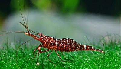 Sulawesi red orchid shrimp