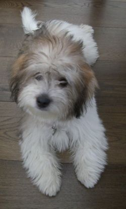 A tri-colour Coton de Tulear! If I get a dog, this will be it! So, adorable and fluffy!