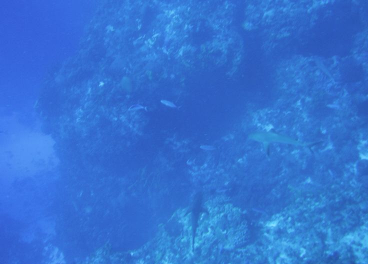2 black tipped reef sharks on the reef, cozumel