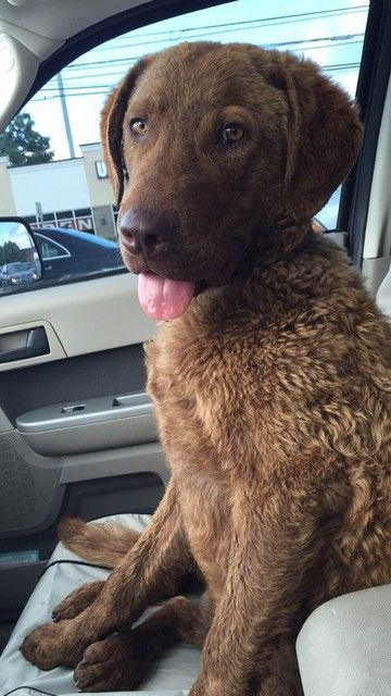 Check out Duke's profile on AllPaws.com and help him get adopted! Duke is an adorable Dog that needs a new home. https://www.allpaws.com/adopt-a-dog/labrador-retriever-mix-chesapeake-bay-retriever/4602161?social_ref=pinterest