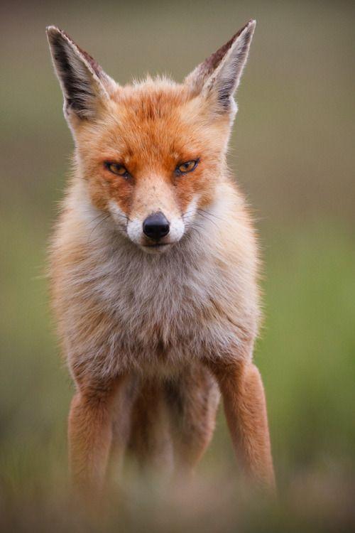 Red Fox med Death Stare: Red Fox med Death Stare