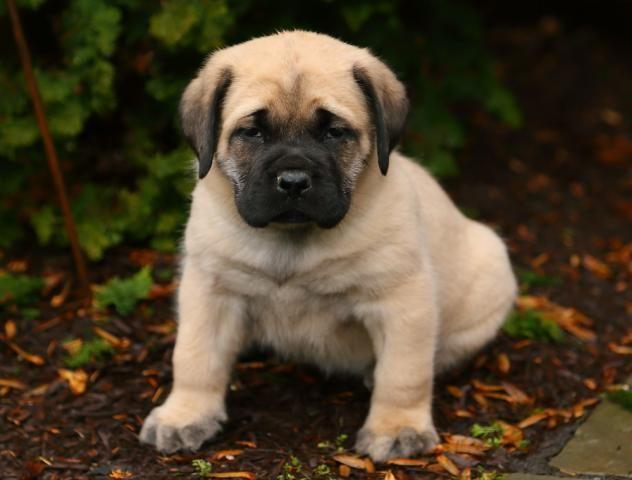 English Mastiff Puppy for Sale