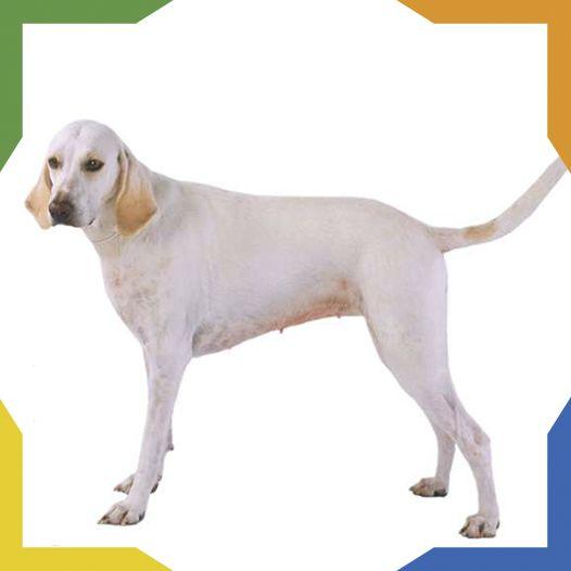 El Billy es un perro originario de la provincia francesa de Poitou. Su extraño nombre proviene del castillo de Billy (Chateau de Billy) donde se desarrolló.  Es un perro grande, atlético y musculoso. Son perros de jauría, esto lo heredan de generación. Sin las jaurías los perros Billy desaparecerían porque no poseen aptitudes de perro de compañía.