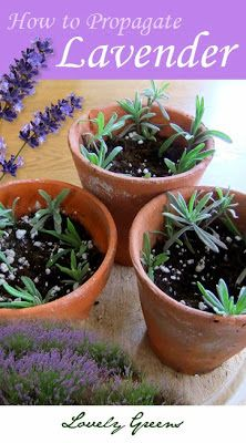Inexpensively create that lavender hedge you've always wanted by propagating dozens of plants from a single plant! #lavender