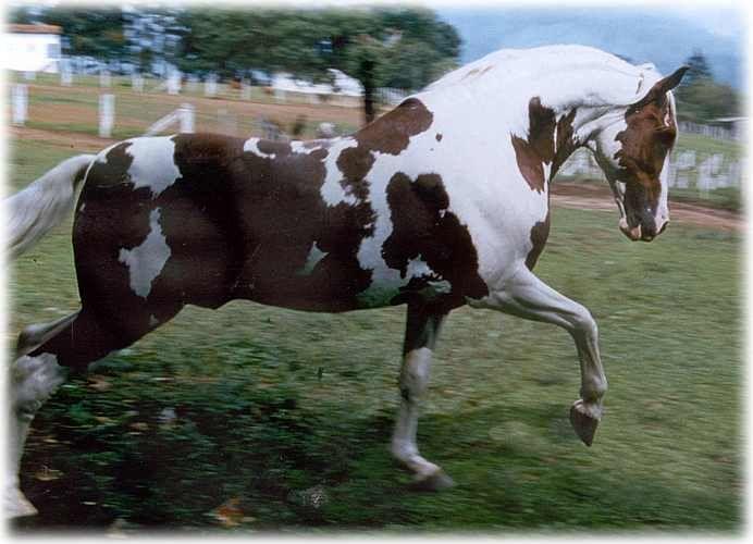 Cavalo Pampa. Pampa horse or Brazilian pinto horse. Garanhão Xerox M.J.M. Campeão Nacional Morfológico e Funcional na Raça Pampa. Garanhão  registrado, com a maior pontuação já concedida (480 pontos de um total de 500).