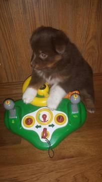 Litter of 2 Miniature Australian Shepherd puppies for sale in ARTHUR, IL. ADN-26558 on PuppyFinder.com Gender: Female. Age: 6 Weeks Old