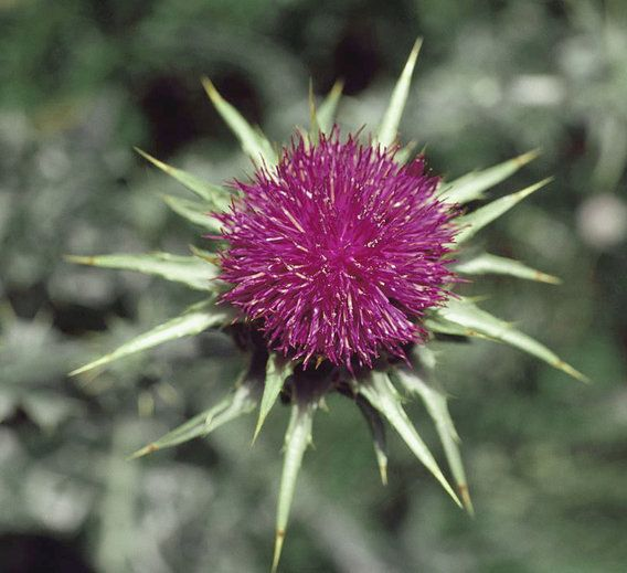 Milk thistle, a natural herb that has antioxidant and anti-inflammatory properties, is commonly used to detoxify the body, especially the liver.