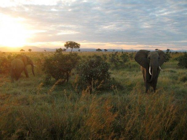 Elephants Tanzania  #animal #elephants #tanzania ! http://flightsafrica12.blogspot.com/2015/08/plane-tickets-africa.html