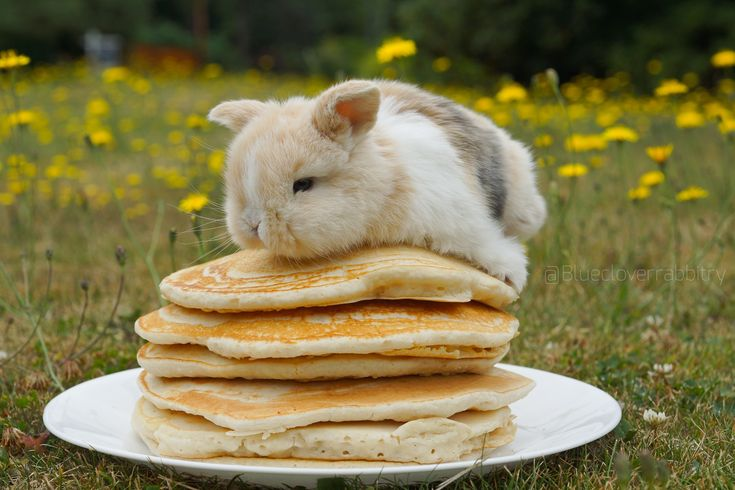 Bunny on pancakes Baby Animals Super Cute, Cute Baby Bunnies, Funny Bunnies, Cute Little Animals, Cute Funny Animals, Bunny Bunny, Cute Bunny Pictures, Baby Animals Pictures, Cute Animal Pictures