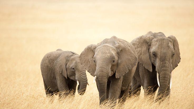 Afrika Safari Elefanten im Afrika Reiseführer http://www.abenteurer.net/afrika-reisefuehrer/