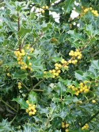 holly tree with yellow berries - we had a very large tree in our garden