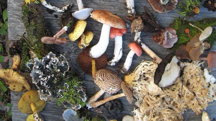Tutte le virtù dei funghi medicinali