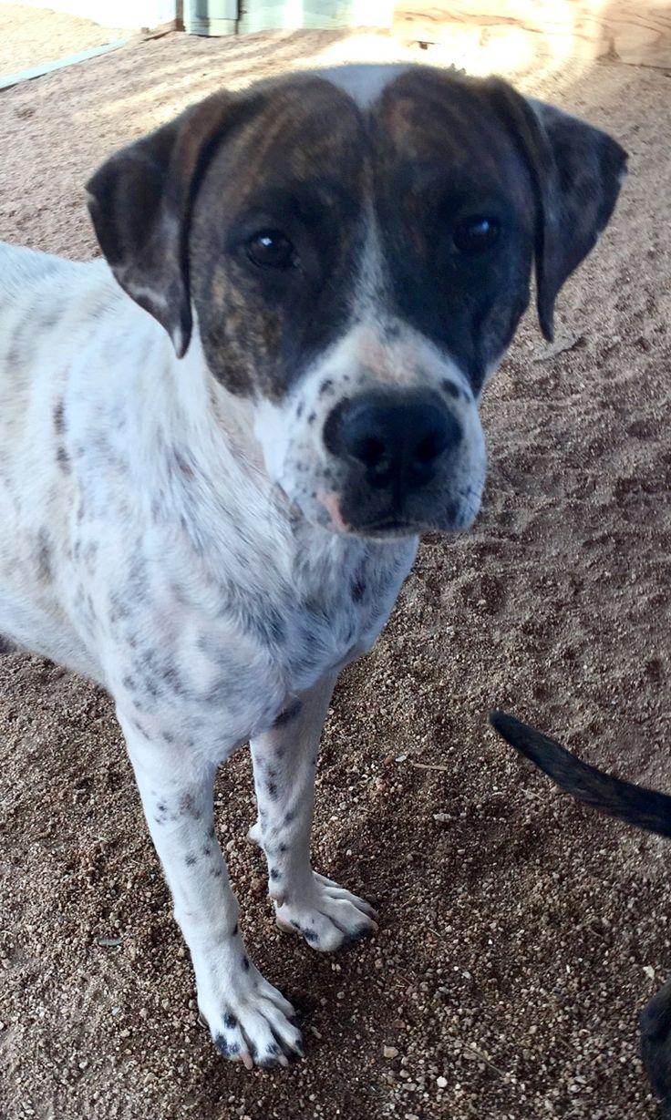 Pitbull puppies for adoption in oregon