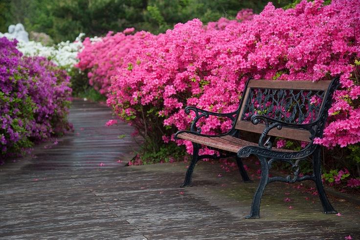 royal azalea,spring,jeongdongjin,KOREA by e.s lee
