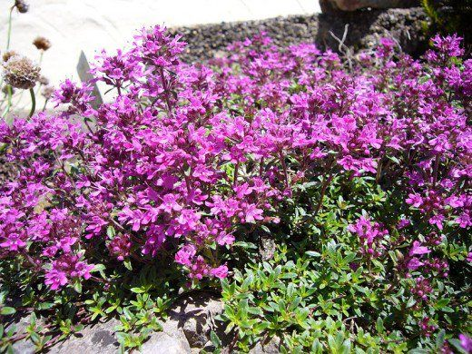 Thyme grows close to the ground, creating a mat that leaves no room for weeds.