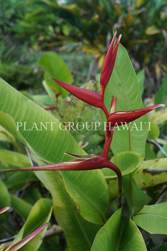 Small Heliconia Varieties | Plant Group Hawaii