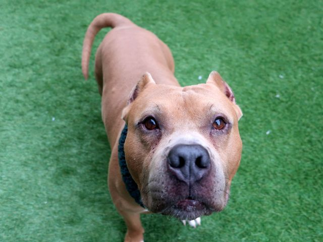 HORATIO - 18524 - - Manhattan  TO BE DESTROYED 01/25/18  A volunteer writes: With chin whiskers like my Aunt Lotte, and a pouty underlip like my Uncle George, I was destined to fall in love with this chunky monkey, and fall in love I did! Pleasantly plump in his well-groomed tan coat, the winter coat I brought outside for him to put on didn't quite fit around his middle. We had fun trying, and I got a kiss for my efforts! Horacio is likely housetrained, is friendly an