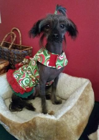 BiGi - Chinese Crested Poodle Mix (Buttons sister)