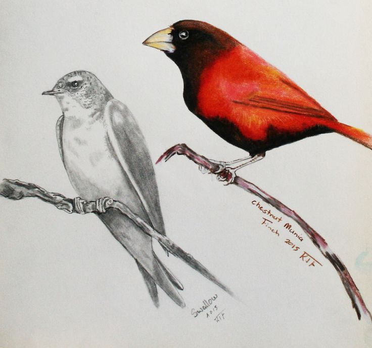 https://flic.kr/p/ybKraa   munia and swallow   Led and color pencil,I just cant help but draw birds,love these little creatures.