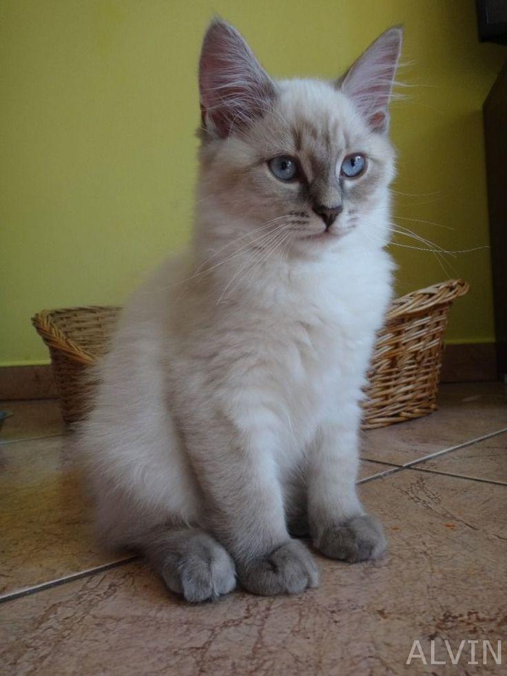 Blue Point Siberian Cats for Sale Carolina's | Gorgeous Siberian Neva Masquerade…