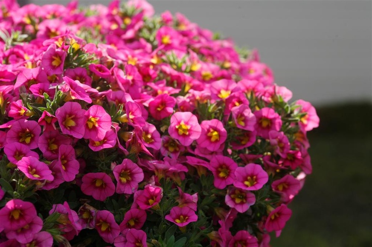 17 Best Images About Pink Flowering Plants On Pinterest