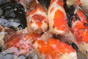 25 beautiful koi fish pond ideas on pinterest pond for Small koi fish care