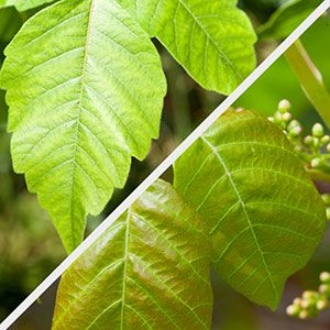 Outdoor enthusiasts and gardeners alike know all too well the itchy or red skin rash caused by poison ivy. The truth about this dangerous plant—from the experts