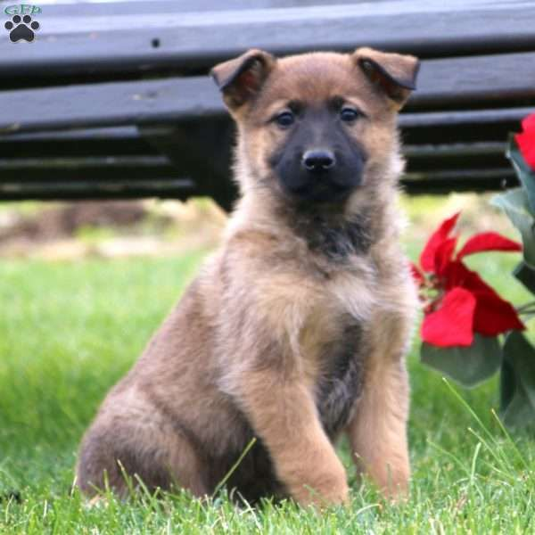 Adorable Golden Retriever And German Shepherd Mix Puppy For Sale In 2020 Shepherd Mix Puppies Golden Retriever Golden Retriever Mix Puppies