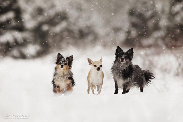 iheartfinnipeani ... iheartfinnipeani: chihuahua time! on Flickr.