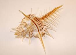 Image result for sea snail shell